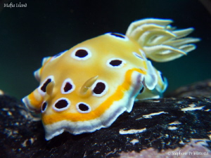 Chromodoris geminus by St&#233;phane Primatesta 